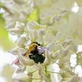 写真: 白藤と熊ん蜂