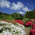 写真: サツキと富士山