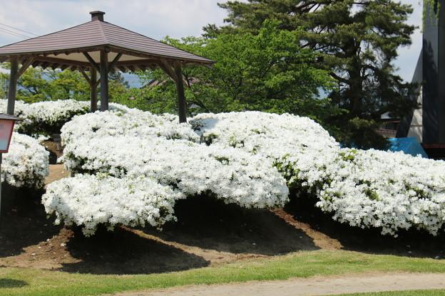 白つつじ公園にて 5月14日 (6)