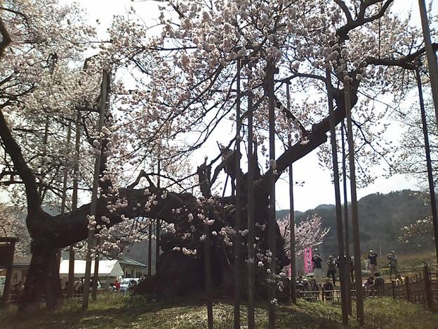 山高神代桜も見事です。平日...
