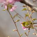 メジロと山桜