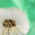 Photos: Dandelion