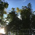 写真: 風にそよぐ若竹&陽光