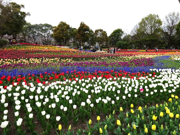 木曽三川公園チューリップ祭り1