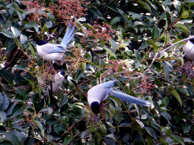 写真: オナガの群れ