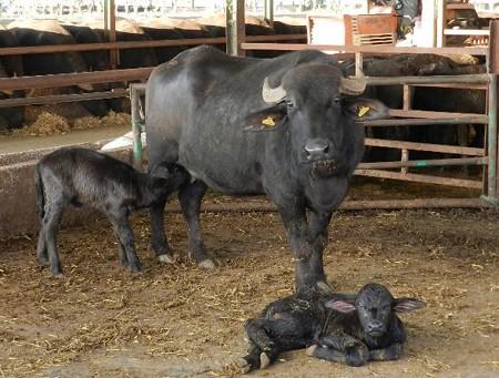 カンパーニャ州の水牛