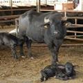 写真: カンパーニャ州の水牛