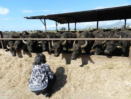 水牛の牧場