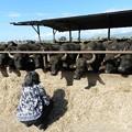 写真: 水牛の牧場