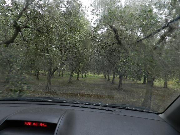 写真: オリーブ畑を車で回ります