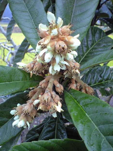 写真: 枇杷の花