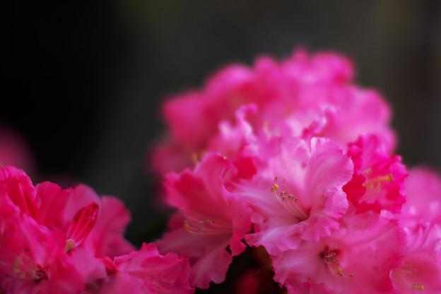 石楠花2-1