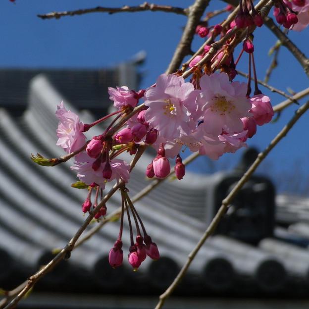15,03,31大慶寺しだれ桜