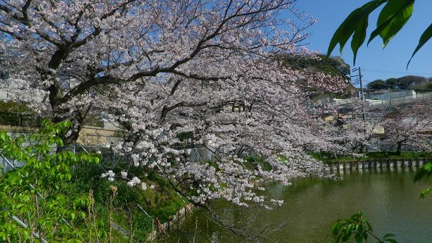 15,03,31谷戸池桜-2