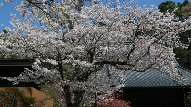 15,03,31妙本寺桜-1