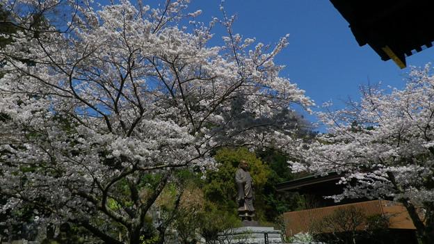 15,03,31妙本寺桜-2