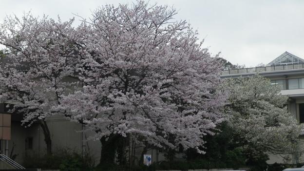 15,04,01鎌倉市役所桜-5