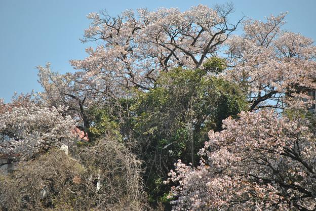 15,04,02実家桜-2