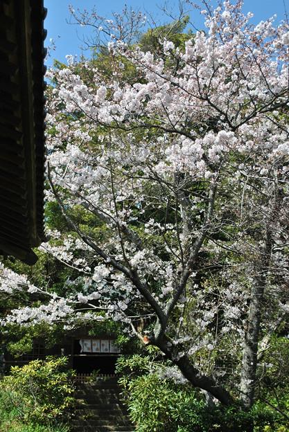 15,04,02浄光明寺桜