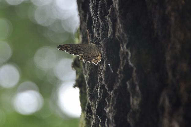 9月4日、木陰のジャノメチョウ?