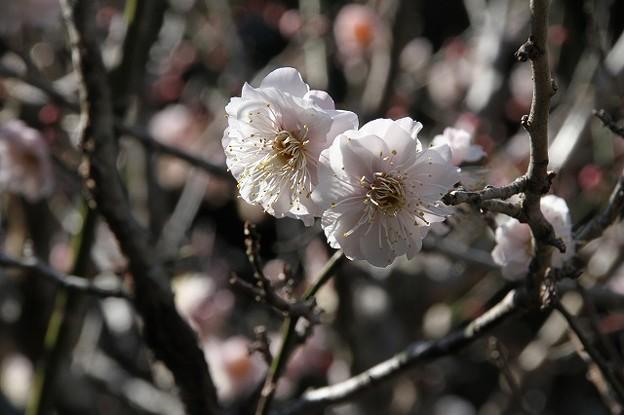 国分寺境内の梅