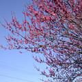 Photos: 3月1日、畑の紅梅(2)