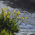 Photos: 3月3日、川辺の菜の花