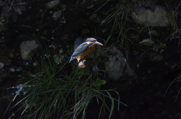 3月15日、止まり木に佇むカワセミ♀