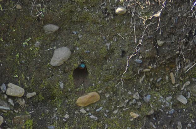 3月15日、巣穴を掘り始めたカワセミ♂(1)