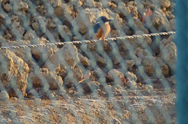 3月25日、農家の敷地内に営巣するカワセミ