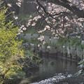 写真: 3月29日朝、落合川旧河川の桜(1)