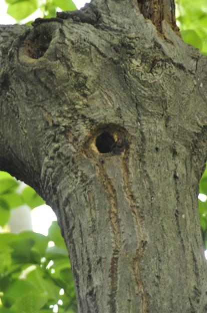 5月3日、営巣が始まった?アオゲラの巣穴