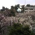 写真: 町田天満宮の梅