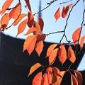 Photos: さくら紅葉