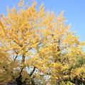 Photos: 銀杏の樹
