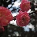 Photos: 覚醒_紅梅