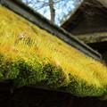 Photos: 茅葺屋根の春