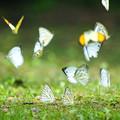 Photos: 森の蝶2