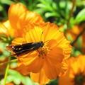 オレンジ色のコスモス(セセリ)