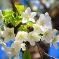 Photos: 春の桜
