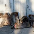 ある動物園の猿事情