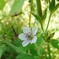 写真: ゲンノショウコの花1