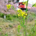 キハ52を強引に春風景w