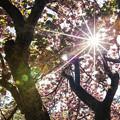 写真: 艷陽、櫻花