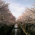 写真: ご近所の桜が見頃☆ 朝20分早く家を出て、通勤お花見してきました♪