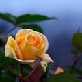 名残の薔薇
