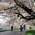君は桜より美しい