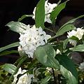 写真: 白く薫る 沈丁花