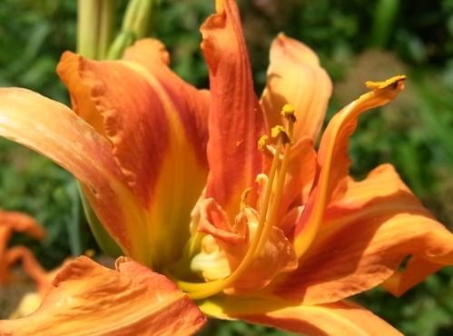 藪萱草の花