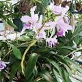 Photos: Lnt. Wrigleyi 'Orchid library' BM/JOGA  (40)
